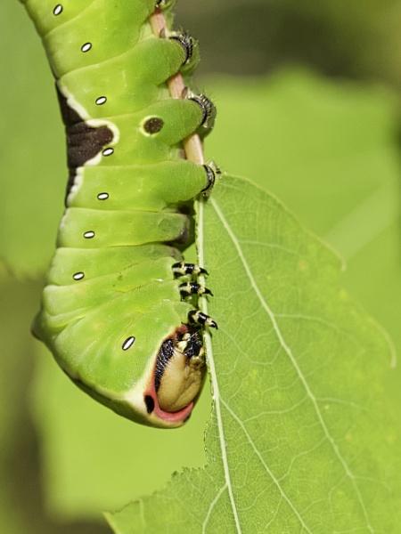 Puss Moth Head Shot by altosaxman