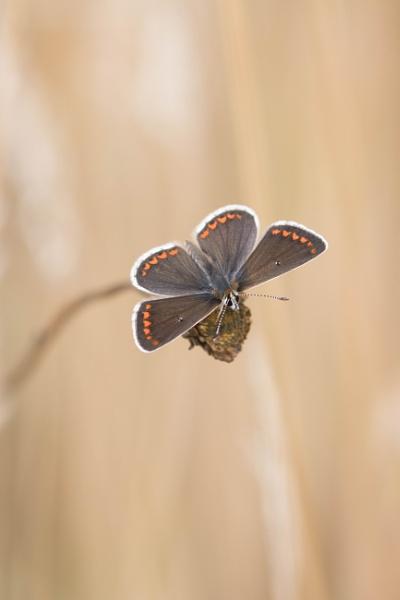 Brown Argus Butterfly by Alfies_Girl