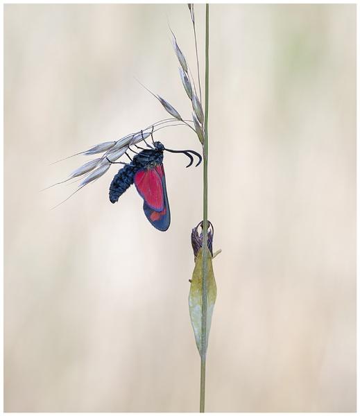 Six Spot Burnet Moth. by NigelKiteley
