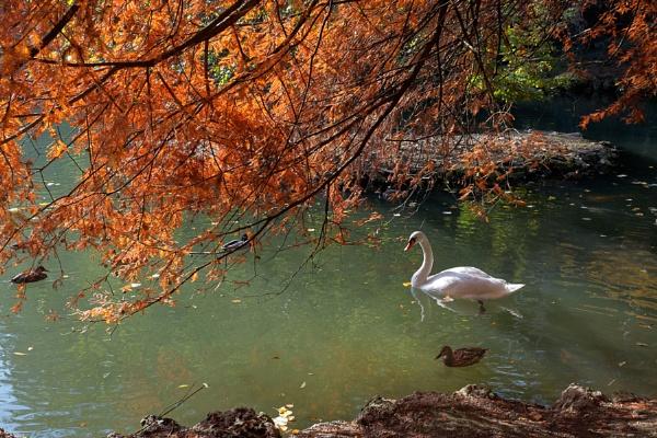 Swan gliding along the Lake in Parco di Monza