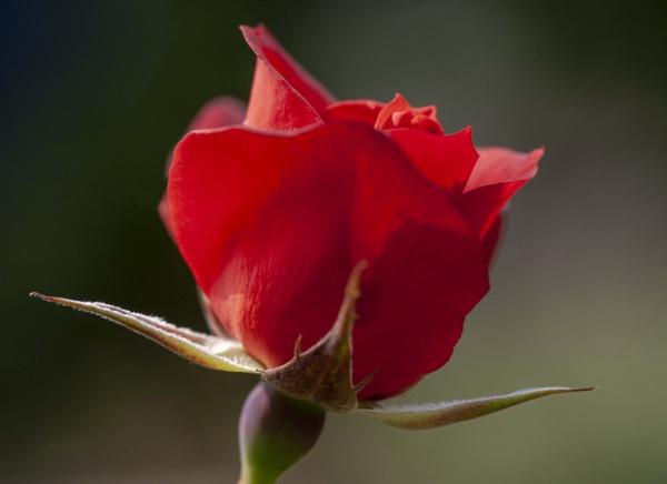 Rose by jacks59