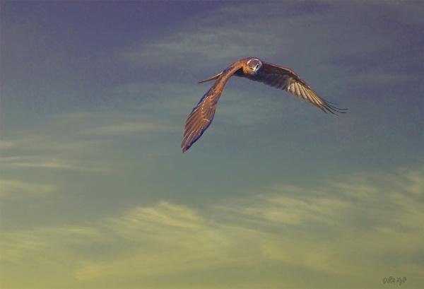 Harrier Hawk 0732 by paulknight