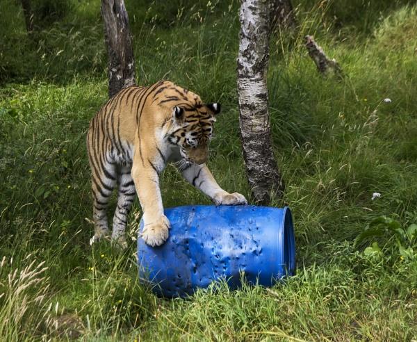 Amur Tiger by Irishkate