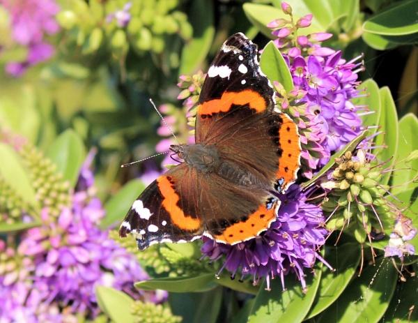 Mothy Buttfly by ScottishHaggis