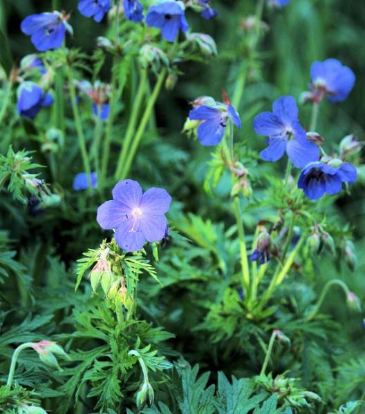 Blue flower by ScottishHaggis
