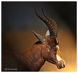 Blesbok portrait
