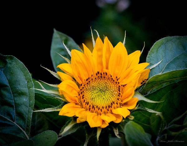 Sunflower. by Jukka