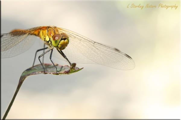 Ruddy Darter Dragonfly by Hoverflylover