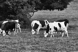 Photo : Livestock