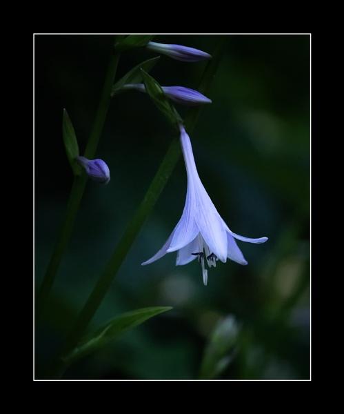 A Hosta Lily