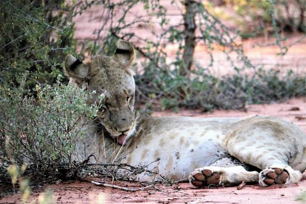 Young Tsavo Lioness by goochian3