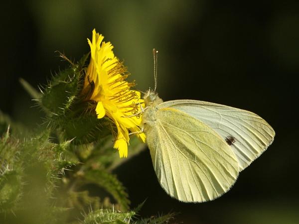 Large White-Pieris brassicae by bobpaige1