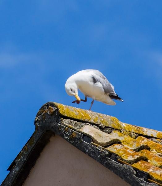 Scratching gull