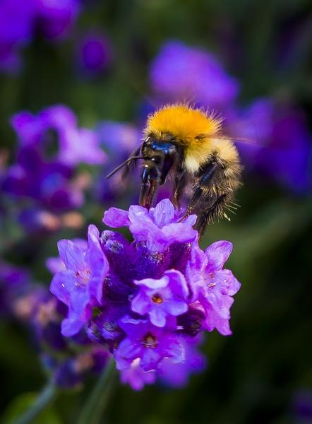 like purple like bee
