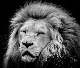 Lion Portrait..