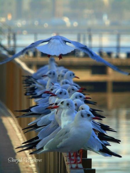 Seagulls by SharjahBirds