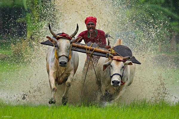 Bull Race by BUMBA