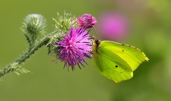Brimstone Butterfly ii by robjames