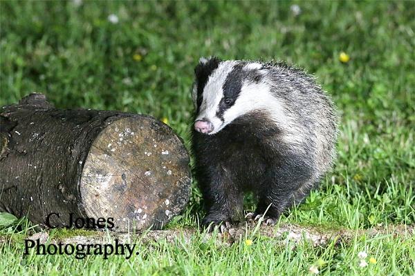 Badger by cjones