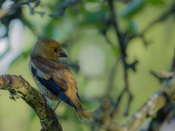 Young hawfinch by EllerySneed