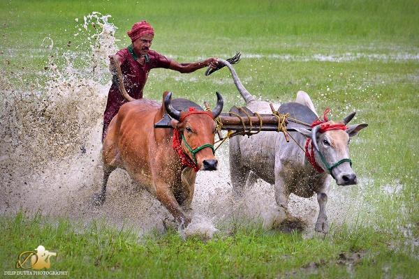 Bull Race by dilipdutta020