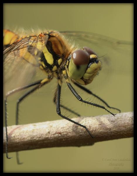 Darter - close up by canoncarol