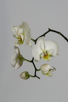 Orchid progression