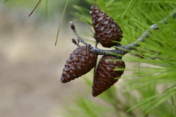Pine cones by Savvas511
