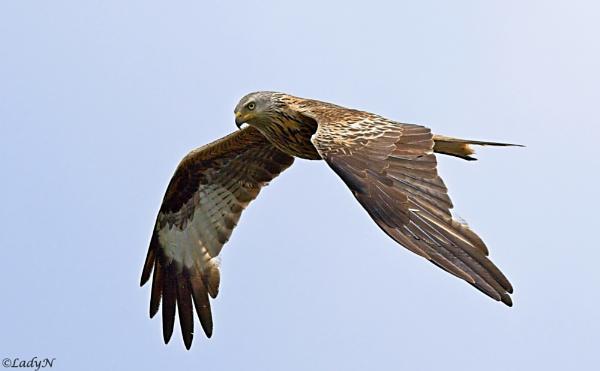 Red Kite.. by ladynewbury