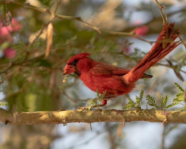 Male Cardinal by makeupmagic