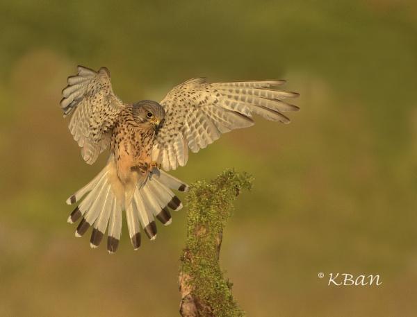 Kestrel Landing by KBan