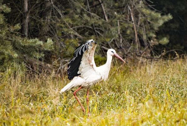 Stork on the meadow by WioletaJ