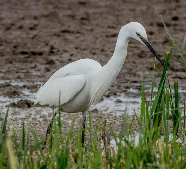 little egret by madbob