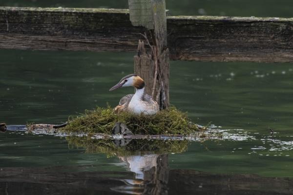 Nesting Grebe by chensuriashi