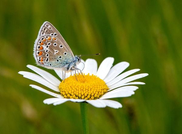 Common blue- Polyommatus icarus