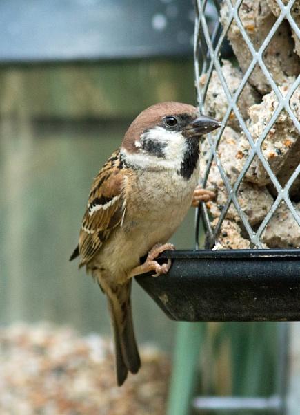 Tree sparrow by oldgreyheron