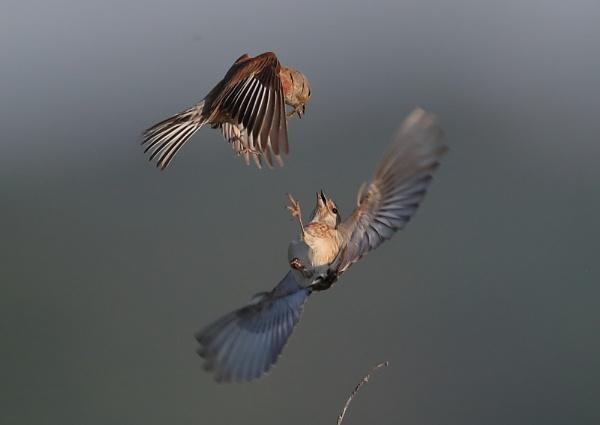 Linnets Fighting by NeilSchofield