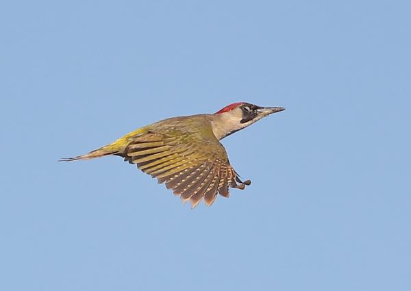 Green Woodpecker in Flight by NeilSchofield