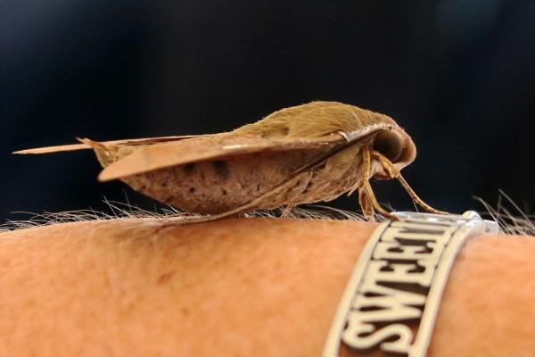 Hawk Moth by Silverzone