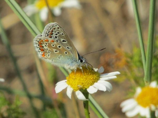 Chalk Hill Blue Butterfly by SUE118