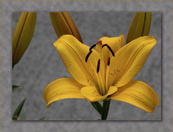 Backyard Lilies by LynneJoyce