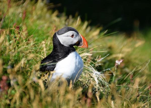 Shetland Puffin by Robert51