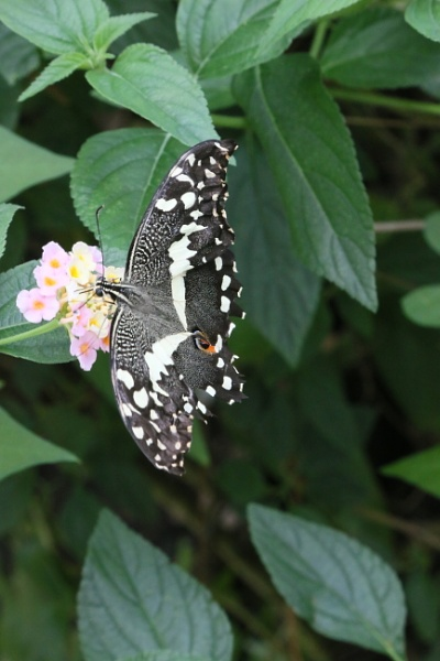 Lime  Swallowtail by mike9005