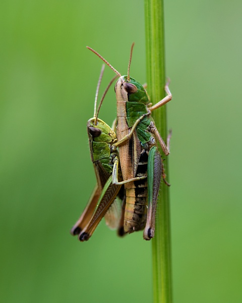 Grasshoppers by PIXELLENCE