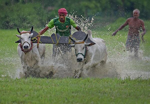 Bull race by Shibram