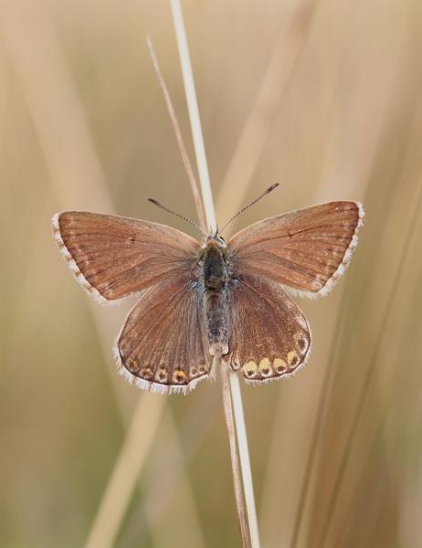 Female Chalkhill Blue by Neil-Ludford