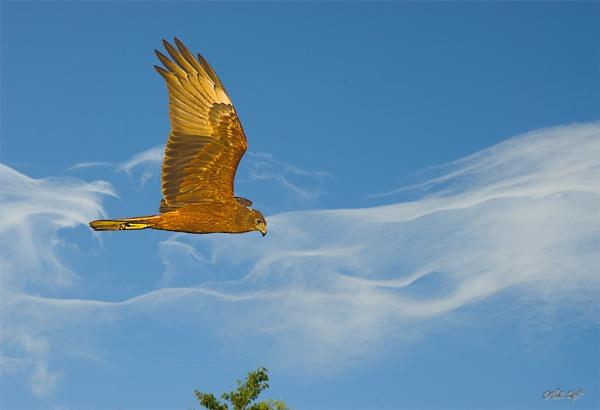 Harrier Hawk (1891) by paulknight