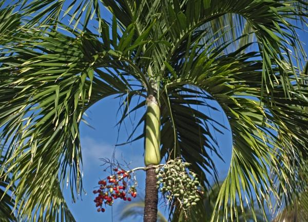 Bottle Palm by JuBarney