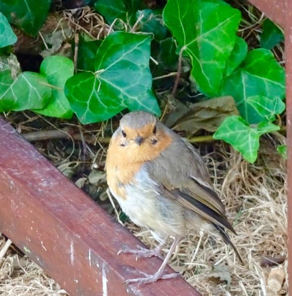 Friendly robin by dixy