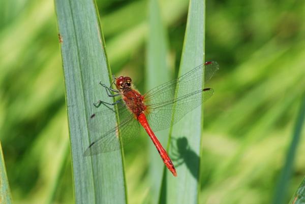 dragonfly by jenny007